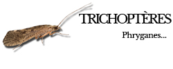 trichopteres