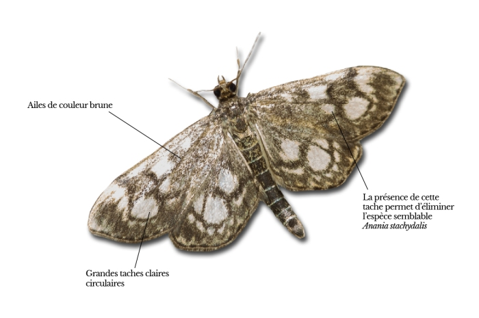 anania-coronata