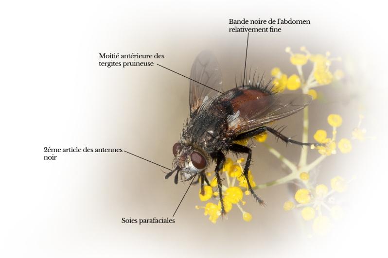 peleteria-rubescens