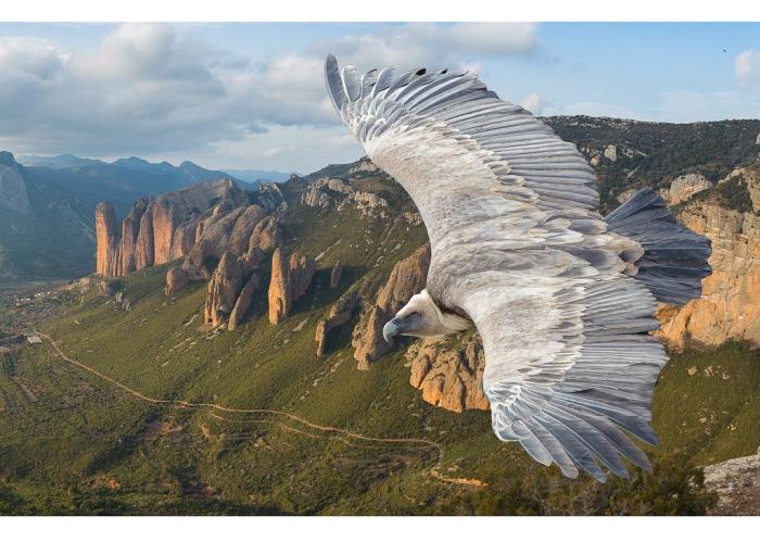 vautour-fauve-2